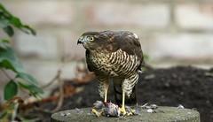 Eurasian sparrowhawk ~ Accipiter nisus (Cosper Wosper) Tags: sparrowhawk accipiternisus garden somerset