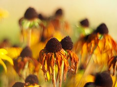 September (wiebke-e) Tags: bokeh primoplan olympus rudbeckia herbst golden