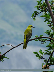 Golden Oriole (Oriolus oriolus) (gilgit2) Tags: aliabad birds category gilgitbaltistan goldenorioleoriolusoriolus hunza location pakistan species avifauna geotagged imranshah wildlife wings feathers orioluskundoo