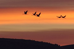 Gallocanta (Aragon/Espagne) (PierreG_09) Tags: españa lagune lake bird spain crane lac aragon laguna espagne oiseau grue vogel pájaro gru uccello gallocanta grulla kranich gruiformes migrateur commoncrane grusgrus gruecendrée gruidés avemigratoria