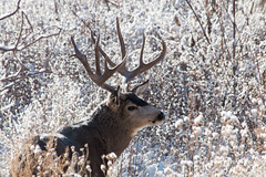November 16, 2014 - A buck deer in the fresh snow at the Rocky Mountain Arsenal. (Tony's Takes)