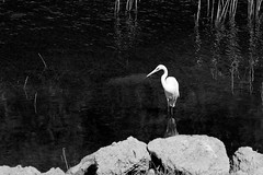 Intermediate Egret 1 (Bob Hawley) Tags: blackandwhite nature birds animals outdoors asia wildlife taiwan kaohsiung mesophoyxintermedia intermediateegret nikon80200f28 nikond7100 banpinshan