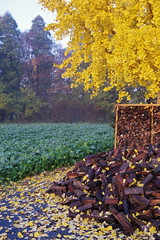 Fully colored Gingko leaves (toruy_almaden) Tags: autumn nature leaves japan pentax scenic 01 chiba q7 noretouching standardprime