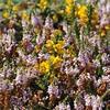 Ajonc de Le Gall (Ulex gallii) et Bruyère vagabonde (Erica vagans) (photopoésie) Tags: ulexgallii léguminoséefabacéeexpapilionacée