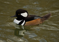 hooded merganser (roly2008.) Tags: canon duck wildlife waterbird dorset waterfowl merganser hoodedmerganser 100400mmmkii