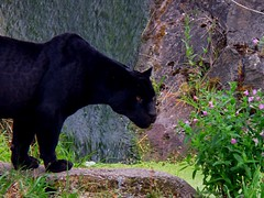 Black Jaguar (samleigh9876) Tags: black animal animals zoo waterfall chester jaguar panther blackpanther chesterzoo blackjaguar