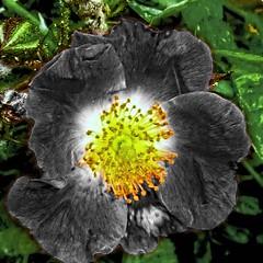 La rose noire (domiloui) Tags: flowers flower macro fleur rose composition fleurs noir lumiere lorraine couleur insolite plantes abstrait petale cooliris abaucourt