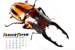 Beetle05 (海龍蛙兵) Tags: insect beetle taiwan goliathus magasoma