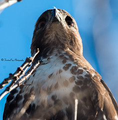 Red Tail Hawk (trinstanprep) Tags: california coyote red lake bird sports america canon butterfly photography bay high raw zoom bokeh hawk wildlife awesome tail birding parks insects sharp hills clear telephoto area shutter resolution manual adventures tamron lenses autofocus cmos 70d 150600mm