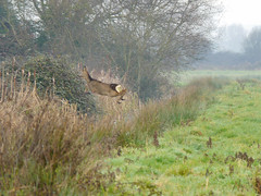 flying high (jump for joy2010) Tags: uk england cold nature beautiful misty rural mammal countryside december escape wildlife flight somerset frosty roedeer winterwalk 2014 capreoluscapreolus somersetlevels