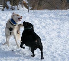 Kasper-41 (Jhan Cinnamon) Tags: park winter dog snow cold nikon husky siberian blizzard kasper riverdale 2015 50300
