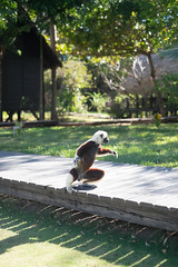 Sifaka hopping on his hind legs between trees.