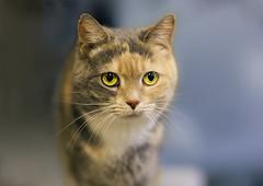 The unspoken plea (Arutemu) Tags: portrait pet pets face animal animals cat canon feline f14 kitty 85mm sigma 猫 85 動物 6d 顔 肖像 eos6d sigma85