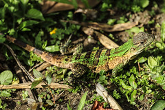 Lizard (tik_tok) Tags: travel trees green tourism latinamerica nature animal forest outdoors costarica reptile lizard jungle camouflage centralamerica centroamerica rincondeviejo