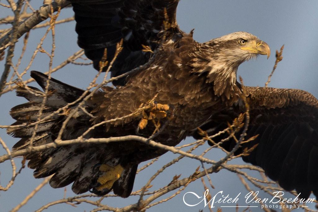 Jumpin' Jehoshaphat (Bald Eagle)