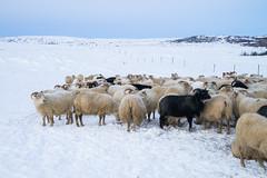 DSC01462 (ekremenak) Tags: photo iceland sheep 1502 150212