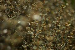(louisa_catlover) Tags: summer plant nature canon garden eos dof native bokeh australian january australia melbourne victoria dandenongs dandenongranges kalorama 2015 60d karwarra karwarraaustralianplantgarden