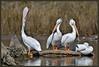 Don't look at him!!!! (WanaM3) Tags: bird nature nikon texas wildlife ngc pelican stretch bayou stump barnacles pasadena canoeing paddling americanwhitepelican clearlakecity d7100 avianexcellence horsepenbayou wanam3 nikond7100 sunrays5