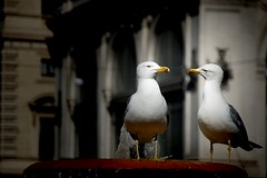 What did you say about my mom? (Giampiero Ciappina) Tags: rome nature gull natura streetphoto gabbiano urbanphotography canon70d