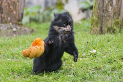 Letting the pumpkin fall (Tambako the Jaguar) Tags: bear baby playing black cute male halloween grass pumpkin zoo cub switzerland nikon funny action young falling surprised zrich d4 spectacledbear andeanbear