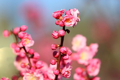 Expo '70 Park 2015.3.10 (16) Ume blossoms (double-h) Tags: flower  ume  japaneseapricot  umeblossoms expo70commemorativepark eos7dmarkii ef100400mmf4556lisiiusm