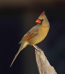 Northern Cardinal, female (AllHarts) Tags: ngc npc memphistn backyardbirds avianexcellence naturesspirit feathersbeaks naturescarousel ourwonderfulandfragileworld soarinnaturesspirit showcaseforsoarinnaturesspirit femaleenortherncardinal