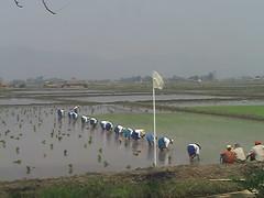 Working the Wet Rice Paddies