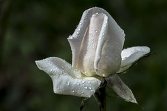 White rose after the rain (PriscillaBurcher) Tags: rose whiteflower rosa whiterose l1040557