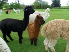 GOC The Pelhams 093: Alpacas (Vicugna pacos) (Peter O'Connor aka anemoneprojectors) Tags: england cute alpaca animal mammal kodak outdoor domestic hertfordshire animalia mammalia albury gravesend 2016 vicugna chordate chordata camelidae artiodactyla goc vicugnapacos artiodactyl gayoutdoorclub z981 kodakeasysharez981 gochertfordshire hertfordshiregoc gocthepelhams