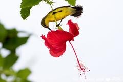 Sunbird (michellexueqi) Tags: bird sunbird