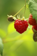 Raspberry (gripspix (OFF)) Tags: 20160712 nature natur plant pflanze fruit frucht raspberry himbeere