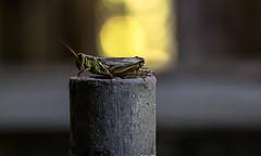 Friendly Visitor (janet.capling) Tags: grasshopper barn light bokeh macro post dust