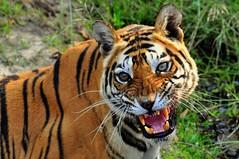 Bengal Tiger, Bandhavgarh NP, India (ajwhitehead1979) Tags: bengaltiger bhandavgarh india royalbengaltiger tiger