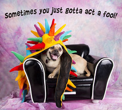 Eddie  poster2 (Shutters for Shelters) Tags: misfitsdogrescue shuttersforshelters s4s dogs jillt8 colorado eddie pug words poster costume harley chair hats