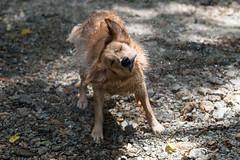 Bear-82 (dai-chan) Tags: bear dog golden nikon retriever shake nikkor d5 70200mmf28gvrii
