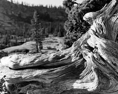 Dead Tree, Olmsted Point, CA (4 Corners Photo) Tags: california wood blackandwhite mountains tree rural forest landscape dead us spring scenery unitedstates grain yosemite northamerica yosemitenationalpark sierranevada olmstedpoint tuolumnecounty 4cornersphoto