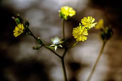 aMaReliNha (jacinto_udi) Tags: flores flor flowers 70d eos mm jardim brasil canon canteiro macro detalhes campo lente