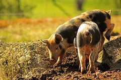 Two piglets rooting in the ground (Tim Lindstedt) Tags: light color art nature colors animal animals rock composition digital canon landscape photography pig photo spring scenery rocks warm afternoon sweden farm scenic ground dirt photograph scenary pigs april sverige piglet dslr province vsters piglets rooting timlindstedt
