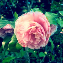 camelia (giulia gerosa) Tags: macro primavera rosa camelia fiori fiore giardinobotanico