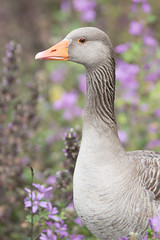 Greylag in summer flowers (ToriAndrewsPhotography) Tags: greylag goose abberton reservoir colchester essex photography andrews tori