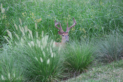 Another Year Older (Vespatime) Tags: deer nature whitetail wildlife