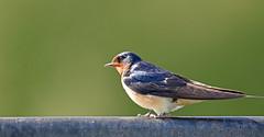 Barn Swallow - Hirondelle rustique - Hirundo rustica (D72_0587-1F-20160610) (Michel Sansfacon) Tags: hirondellerustique barnswallow hirundorustica nikond7200 sigma150600mmsports