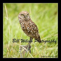 burrowing owl FL (wildlifephotonj) Tags: burrowingowls burrowingowl owl owls raptor raptors wildlifephotography wildlife nature naturephotography wildlifephotos naturephotos natureprints birds bird florida floridawildlife