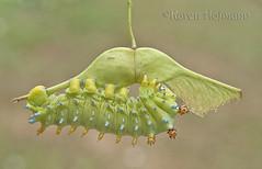 Cecropia Moth Caterpillar (chevymom0) Tags: canon caterpillar cecropia michigan macro moth metamorphosis monarchwaystation2408 nature summer downriver waynecounty wings environment helicopter colors rebel unusual bug beautiful garden green lepidoptera