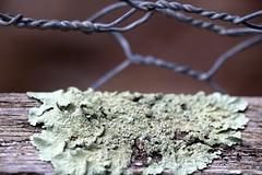 Lichen (pnaudi) Tags: lichen green wire fence