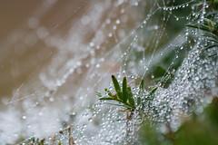 ckuchem-6141 (christine_kuchem) Tags: nahaufnahme regen regentropfen spinnennetz tropfen wasser wassertropfen romantisch