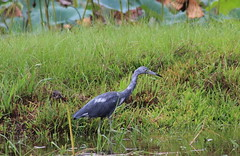 IMG_2446 (im2fast4u2c) Tags: great blue heron bird wildlife animal