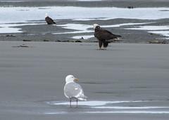 HomerArea10 (alicia.garbelman) Tags: alaska beach ocean birds anchorriverstaterecreationarea kenaipeninsula baldeagles seagulls wildlife