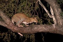 Young Leopard (Thomas Retterath) Tags: 2015 africa afrika animals bigfive canon carnivore ef300lis28usm eos5dmarkiii felidae leopard lioncamp mammals natur nature nightlife pantherapardus predator raubtiere sambia southluangwavalley sugetier tiere wildlife zambia