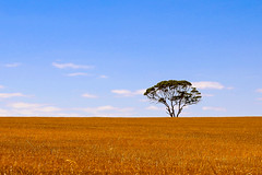 Gold Horizon - EXPLORED (Karen Carmen) Tags: bluesky dry westernaustralia landscape colour ruleofthirds lonetree summer thefarm horizon gold whitegumtree bolgart wheat field